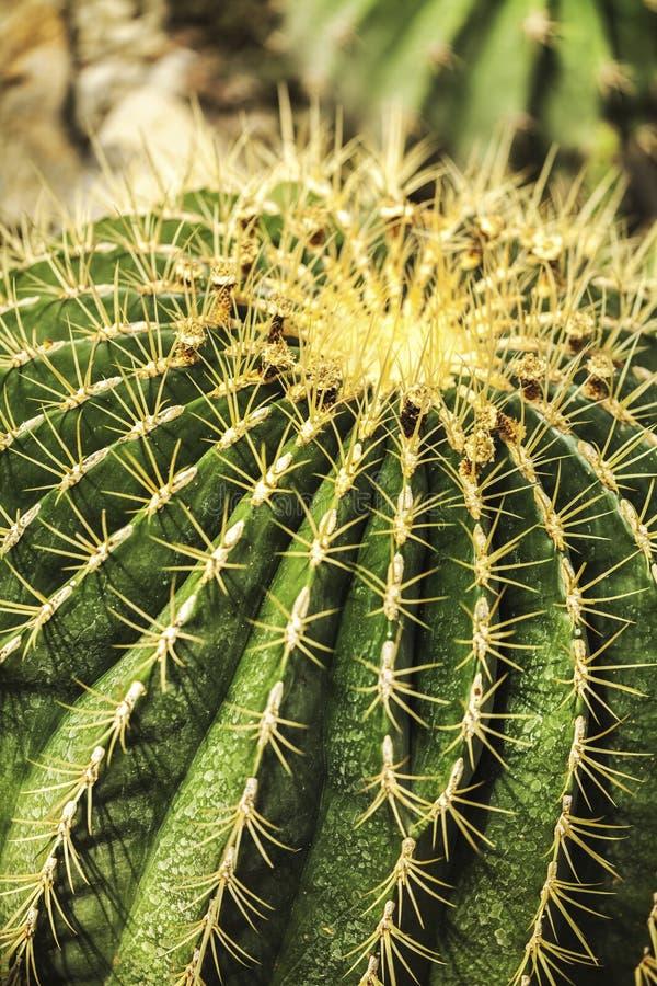 Żyje zielonego kaktusowego zbliżenie z kręgosłupami obraz royalty free