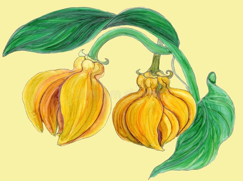 Ylang-Ylang Ζωγραφική Watercolor ιατρική, αρωματοποιία και καλλυντικές εγκαταστάσεις ταπετσαρία ελεύθερη απεικόνιση δικαιώματος