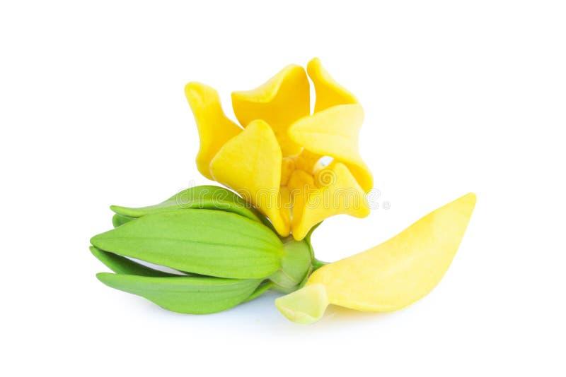 Ylang-Ylang λουλούδι, κίτρινο ευώδες λουλούδι στο άσπρο υπόβαθρο στοκ εικόνα με δικαίωμα ελεύθερης χρήσης