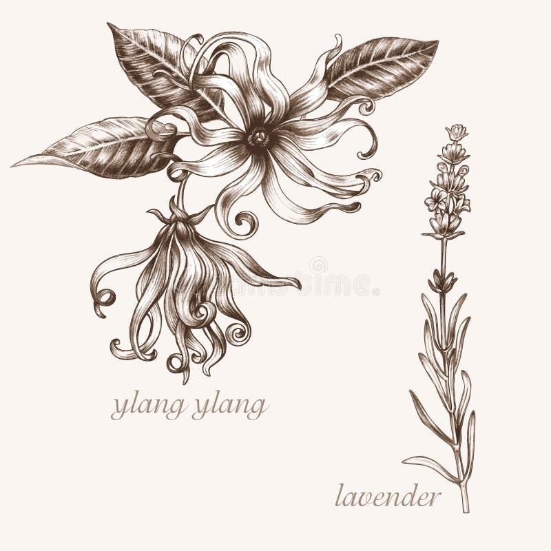 Ylang, lavande Ensemble d'herbes médicales illustration de vecteur