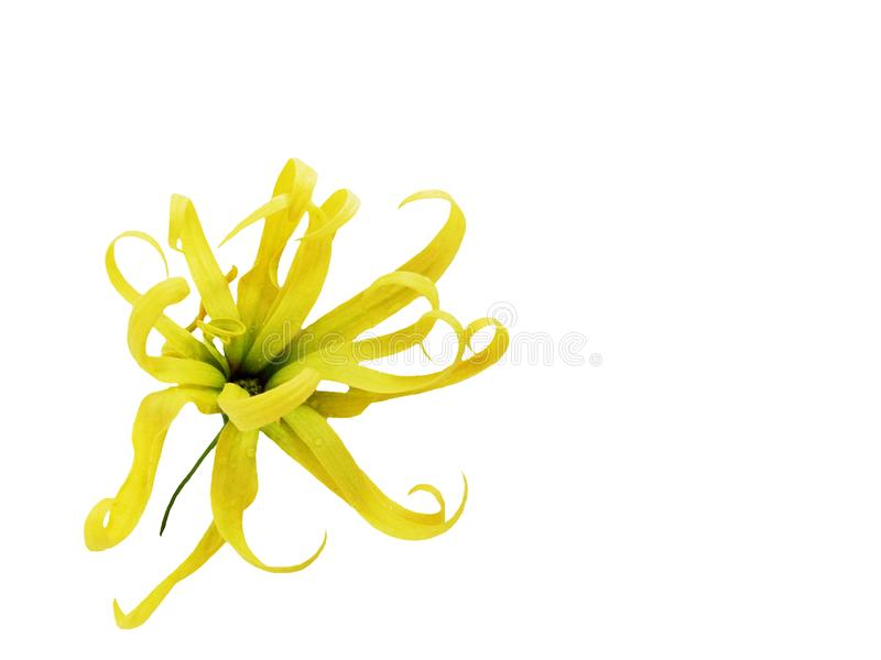 Ylang ylang verde, fiore di cananga odorata immagine stock libera da diritti