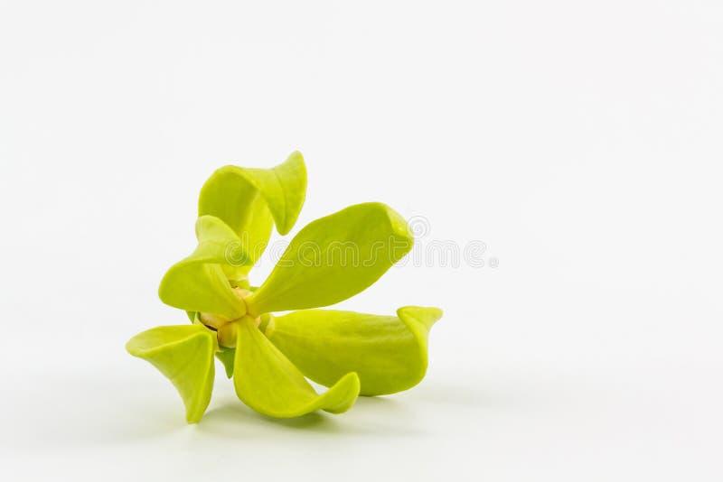 Ylang-Ylang λουλούδι. στοκ φωτογραφίες