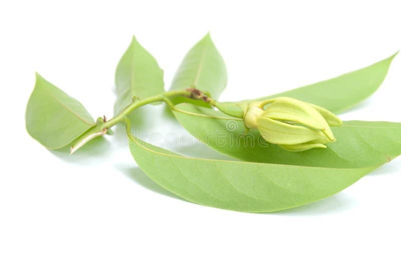 Download Ylang-Ylang stock photo. Image of leaves, tropical, plant - 16204554