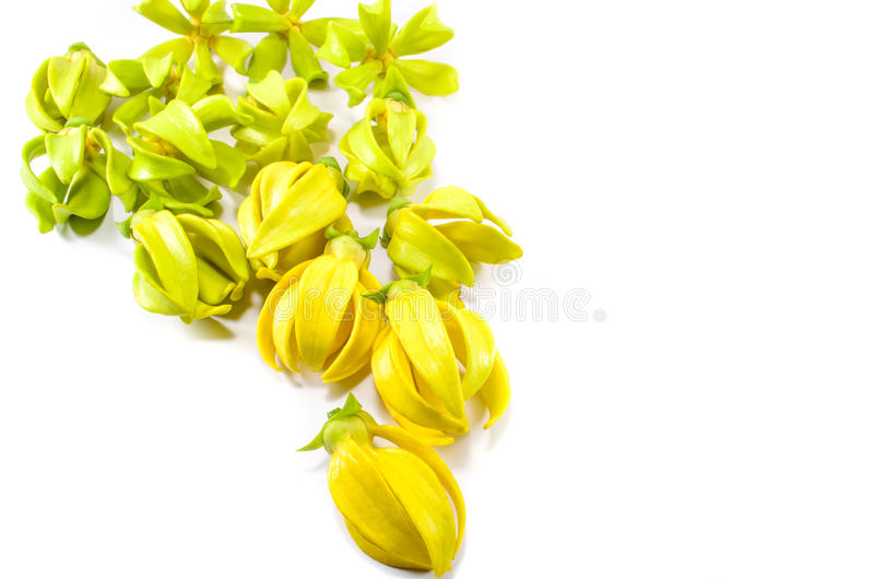 Ylang Ylang blommor royaltyfri bild