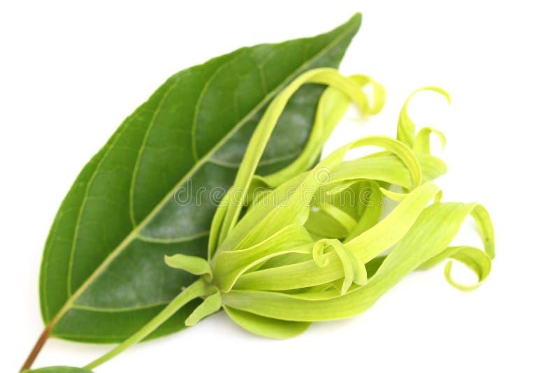 Ylang-ylang Blume lizenzfreie stockfotos