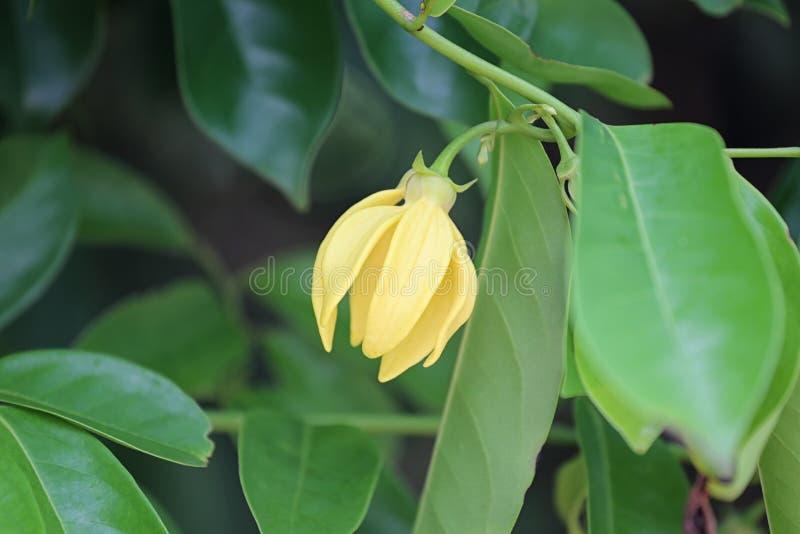 ylang ylang Blume der gelben Farbblüte stockbild