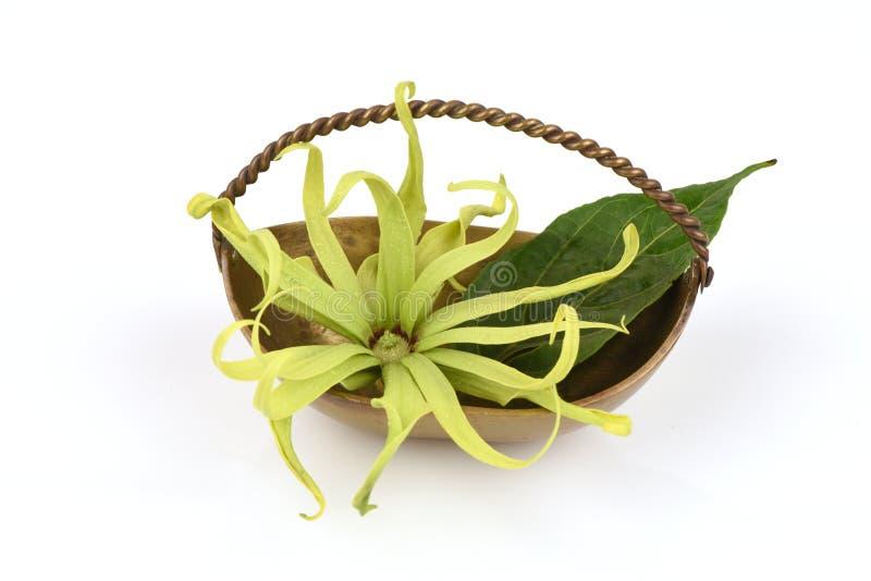Ylang-Ylang do anão, Ilang - Ilang, fruticosa do Cananga imagens de stock royalty free