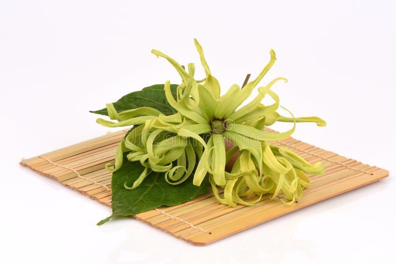 Ylang-Ylang do anão, Ilang - Ilang, fruticosa do Cananga imagem de stock