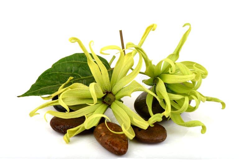 Ylang-Ylang do anão, Ilang - Ilang, fruticosa do Cananga fotografia de stock