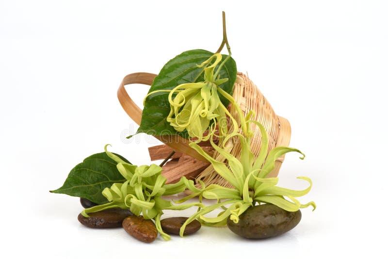 Ylang-Ylang do anão, Ilang - Ilang, fruticosa do Cananga fotos de stock