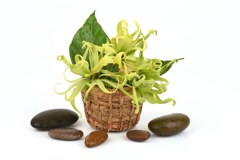 Ylang-Ylang do anão, Ilang - Ilang, fruticosa do Cananga imagens de stock