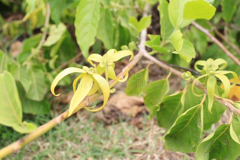 Ylang Ylang floresce o odorata do cananga imagens de stock royalty free