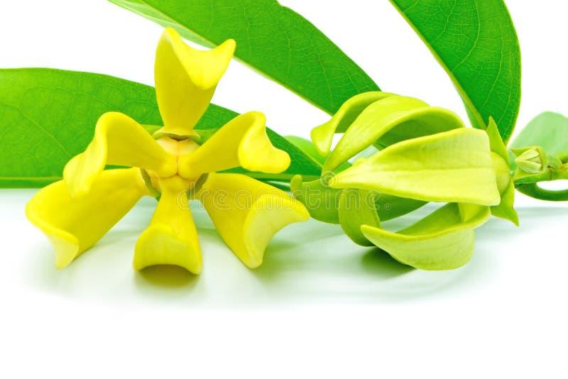 Ylang-Ylang Flower Royalty Free Stock Photos