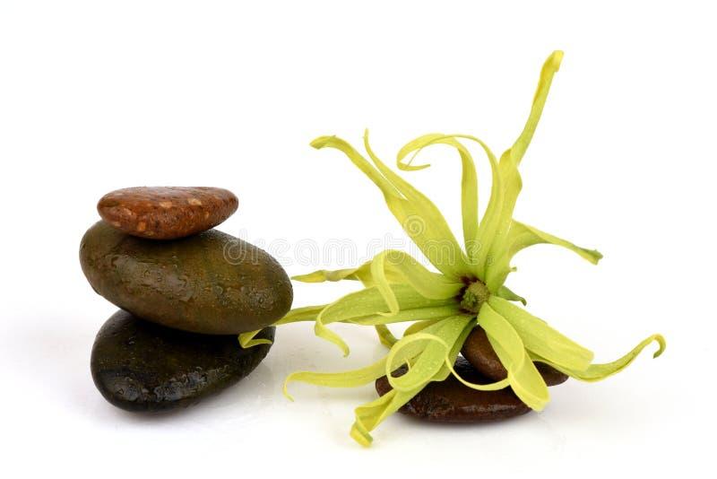 Ylang-ylang nain, Ilang - Ilang, fruticosa de Cananga image stock