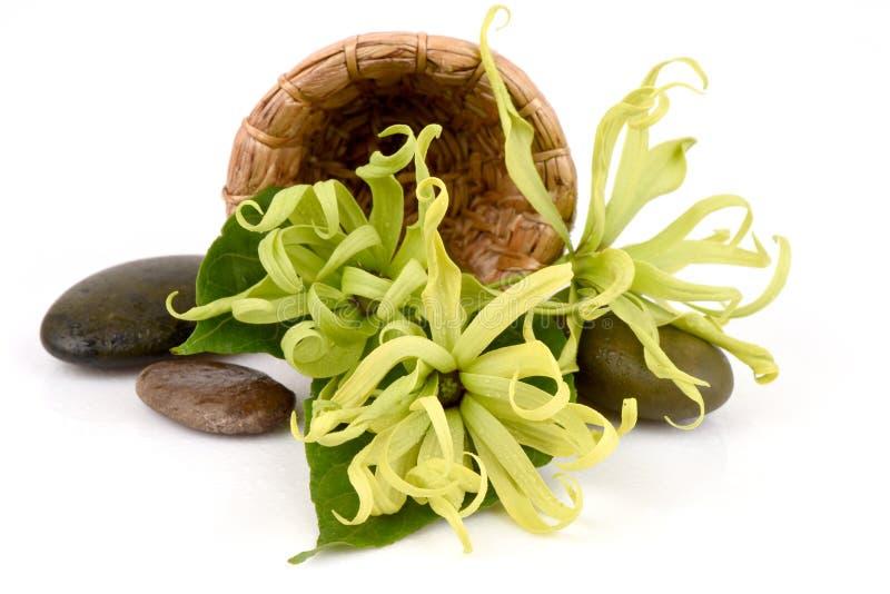 Ylang ylang nano, Ilang - Ilang, fruticosa del Cananga immagini stock