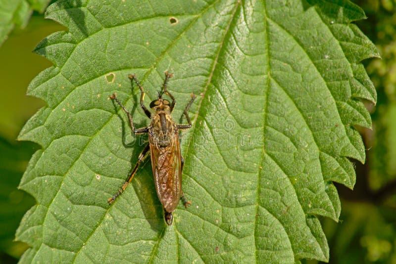 Ylelow gnojowa komarnica na pokrzywowym liściu - Scathophaga stercoraria fotografia royalty free