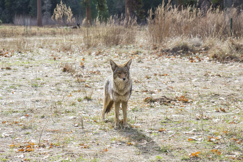 Yo Coyote. Adventures open outdoors beautiful meadow wild coyote royalty free stock image