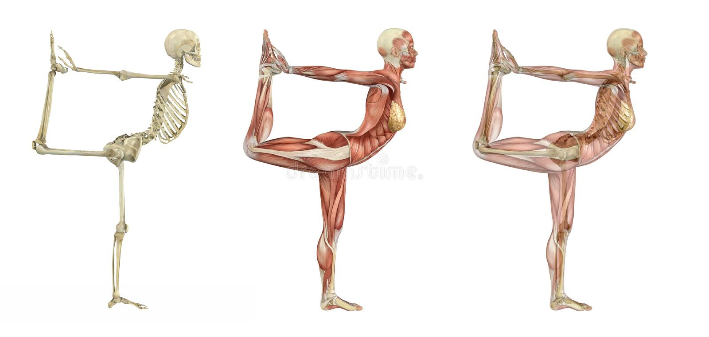 Yoga Dancer Pose - Anatomical Overlays royalty free illustration