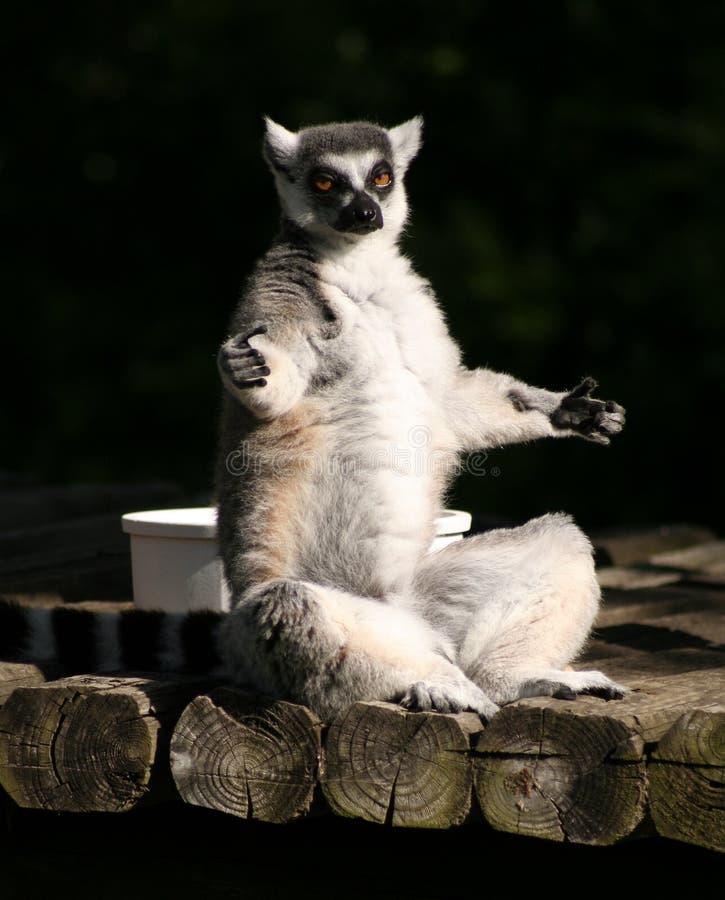 Yoga de Lemur photographie stock