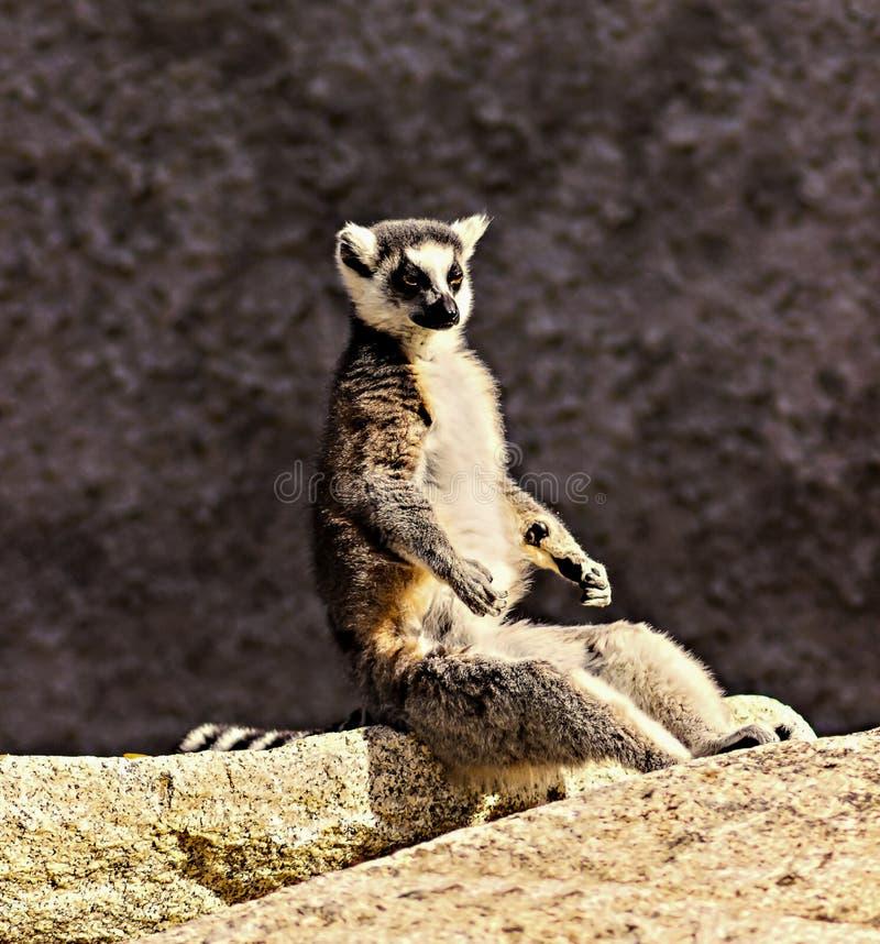 Yoga del lémur fotos de archivo libres de regalías