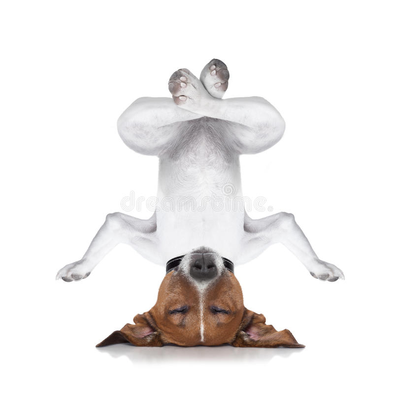 Yoga dog. Dog upside down relaxing with closed eyes doing yoga and balancing, isolated on white background