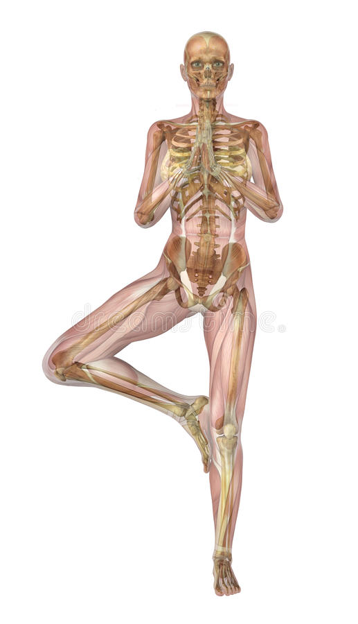 Yoga Tree Pose - Muscles & Skeleton stock illustration