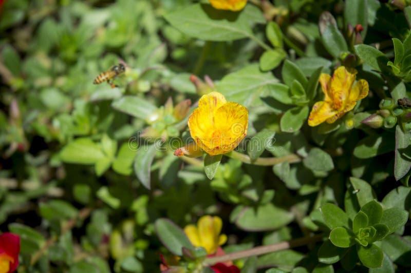 YOGYAKARTA - Harmonie von Bienen und von gelben Blumen stockfoto