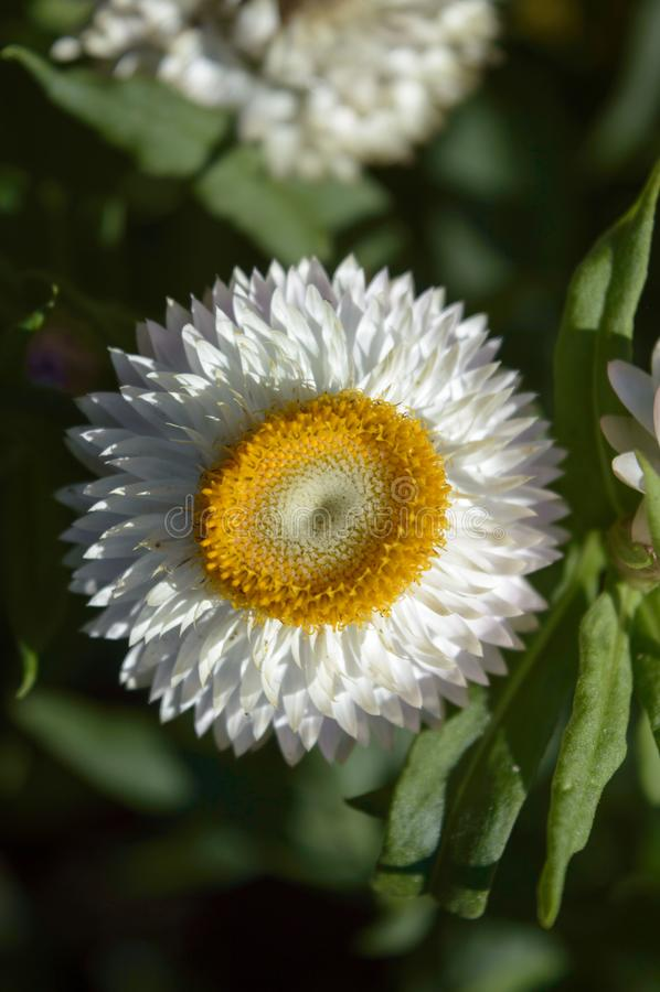 YOGYAKARTA - Strawflower blanco foto de archivo