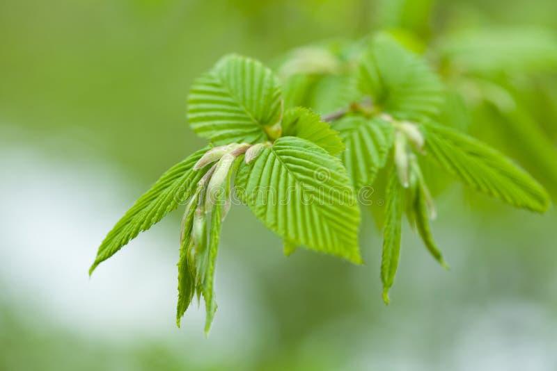 Yoing-Zweig der Baumbirke im Wald stockfoto
