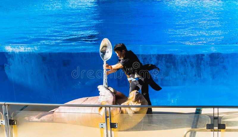 YOKOHAMA,JAPAN MARCH 13,2019 Female Walrus holding a big spoon with her trainer at Hakkeijima Sea Paradise stock image