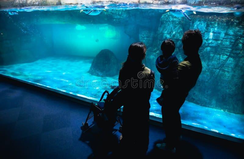 YOKOHAMA, JAPONIA MARZEC 13,2019 rodziny pozycja i patrzeć cesarzów pingwiny w pokazu terenie przy Hakkeijima morza rajem, obraz royalty free