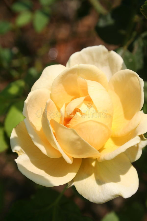 Yollew Rosa: Cura & amore immagini stock libere da diritti