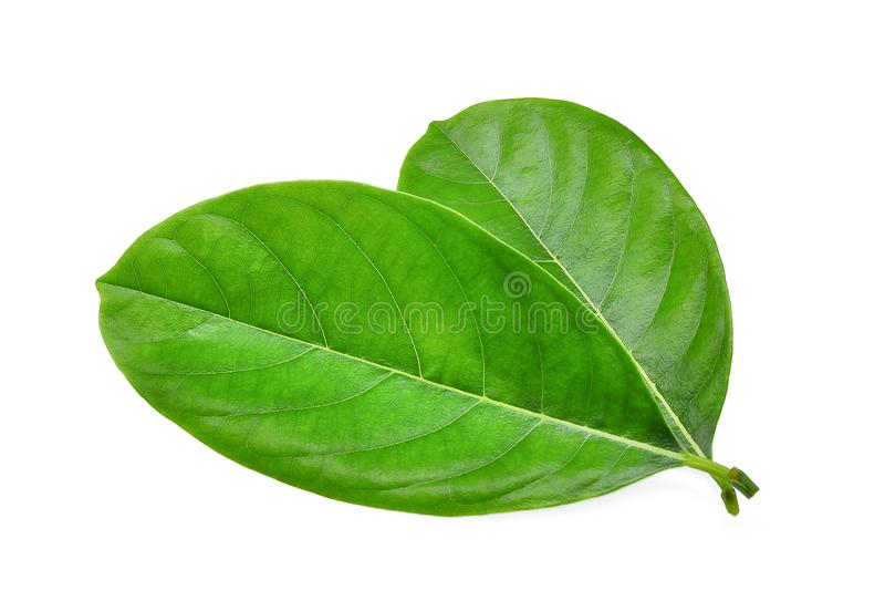 Yong green jackfruit leaves isolated on white royalty free stock image
