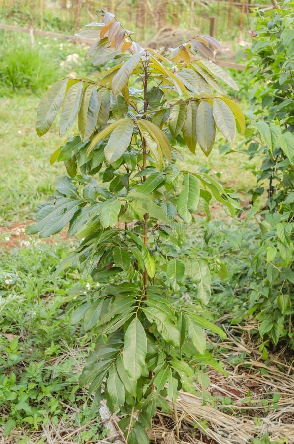 Yong Longan drzewo zdjęcia royalty free