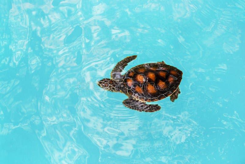 Yong-Ozeanschildkröte sims im blauen Wasser stockfotos