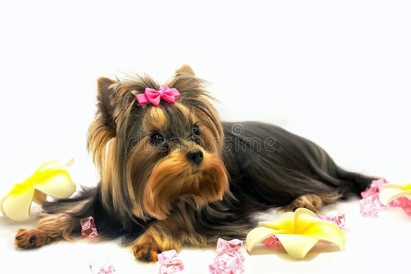 York-Terrier lizenzfreie stockfotografie