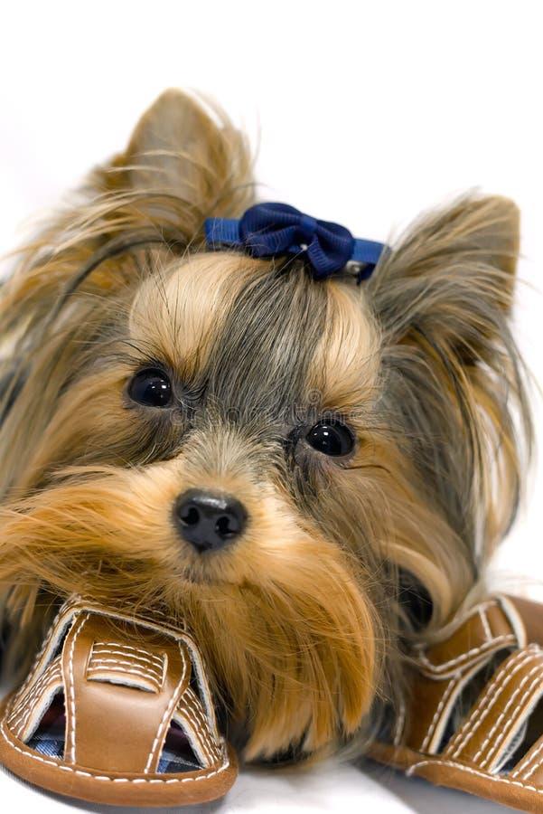 York Terrier royalty free stock image