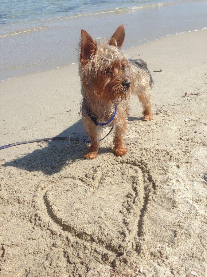 Yorkie心脏海滩sardegna爱 免版税库存照片