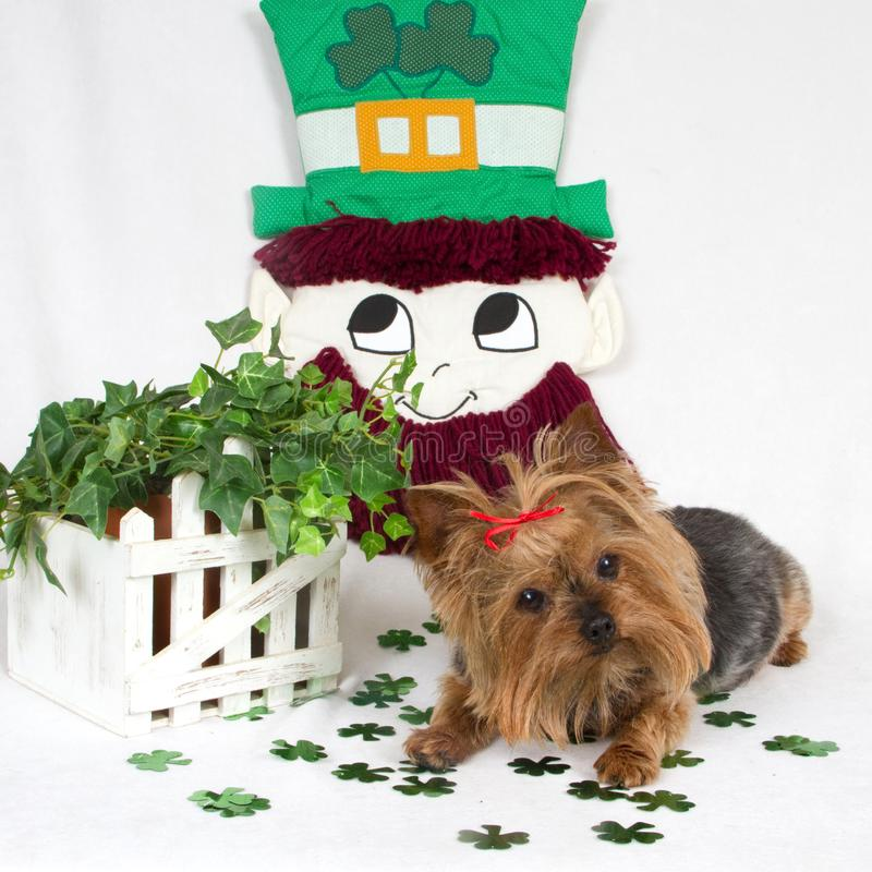 Yorkie à St Pat Day image stock