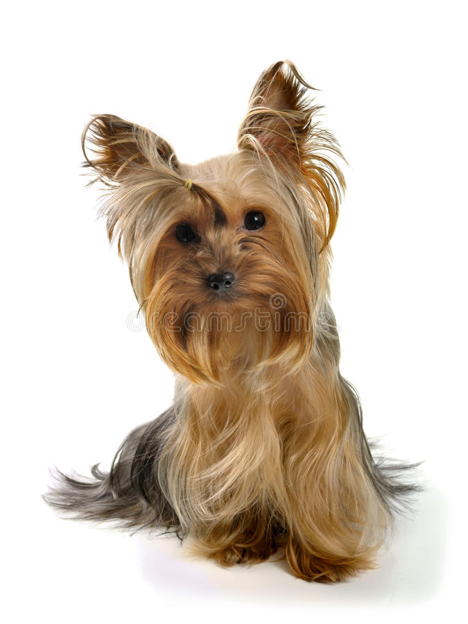 Yorkie royalty free stock images