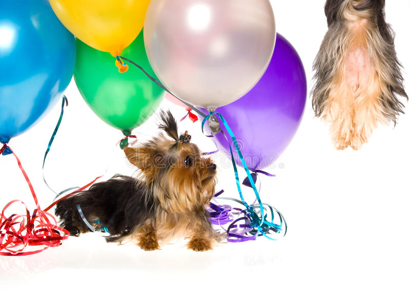 Download Yorkie With Balloons Watching Pup Drift Up In Air Stock Photo - Image: 10151742
