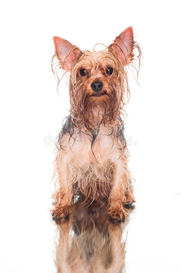 Yorkie after bath. Wet yorkie sitting on white background after bath stock photography