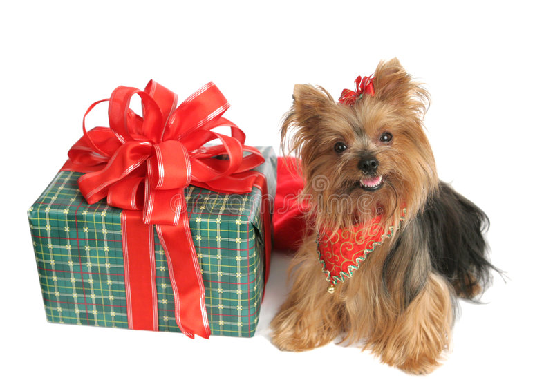 Yorkie with Christmas Gift. An adorable yorkshire terrier dog with a brightly wrapped Christmas present