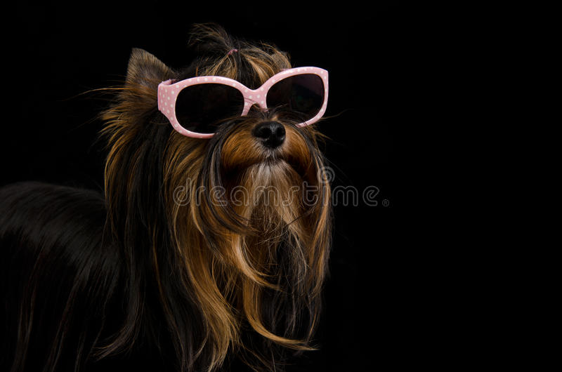 Yorkie con los vidrios de sol rosados imágenes de archivo libres de regalías