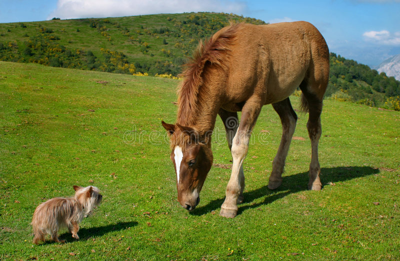 Yorkie contre le cheval image stock