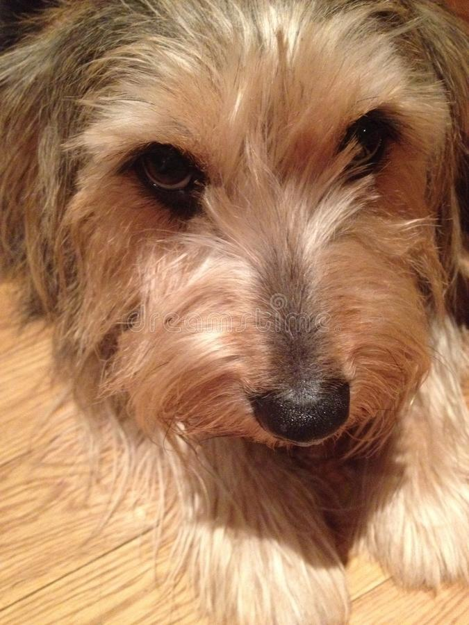 yorkie Corgiblandninghund arkivfoton