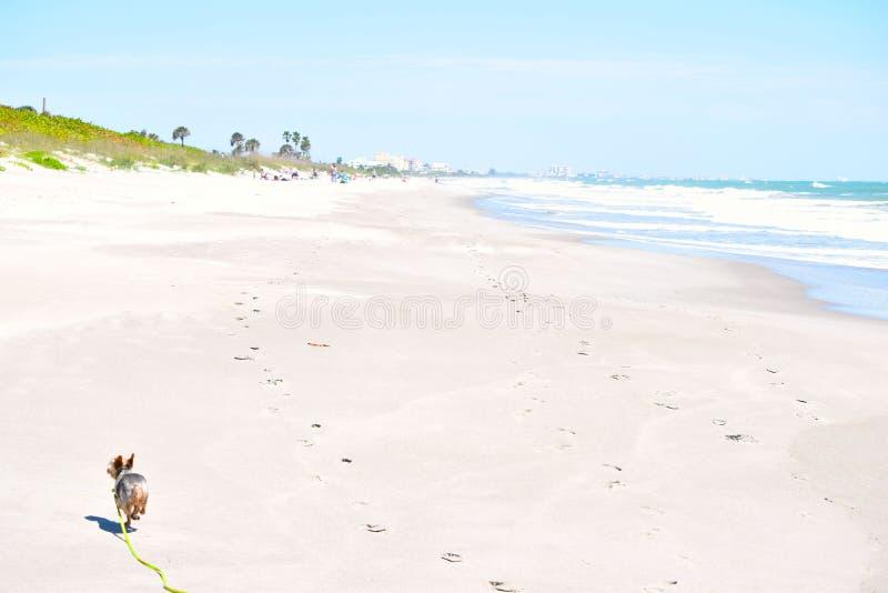 Yorkie corre flojamente en la playa imagen de archivo
