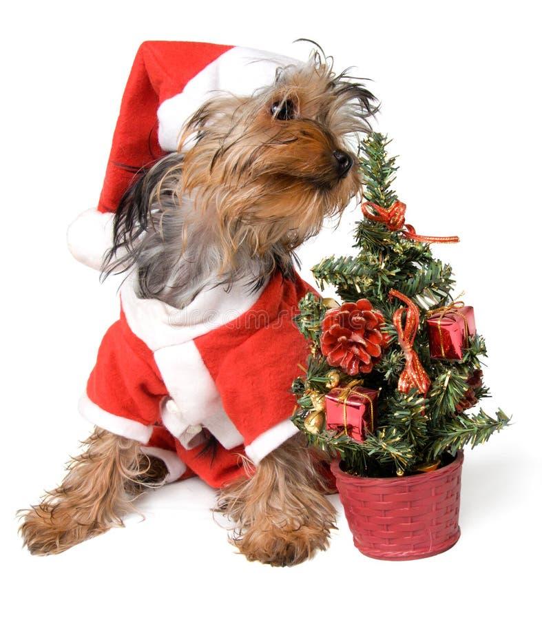Yorkie do Natal imagens de stock royalty free
