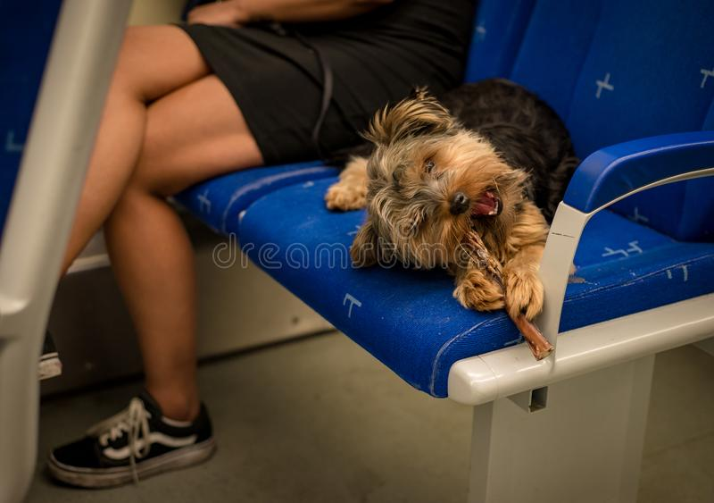 Yorkie dog chewing a treat on the train, laying in the seat royalty free stock photo