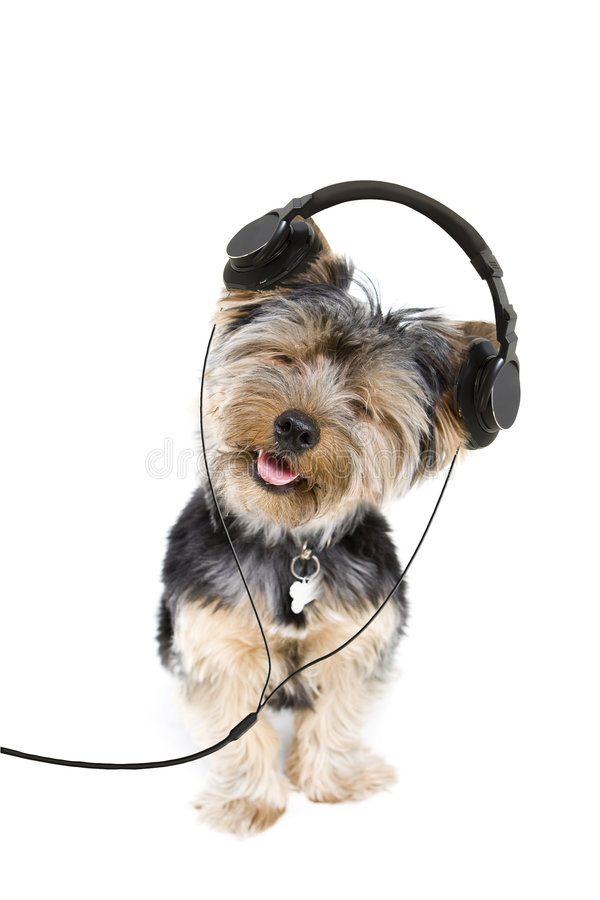 Yorkie headphones. Adorable yorkie listening to music on headphones